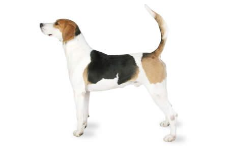 English Foxhound information including pictures, training, behavior, and care of English Foxhounds and dog breed mixes.