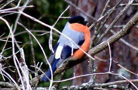 Birds (Avis) ჩიტები: Bullfinch (Pyrrhula pyrrhula) სტვენია