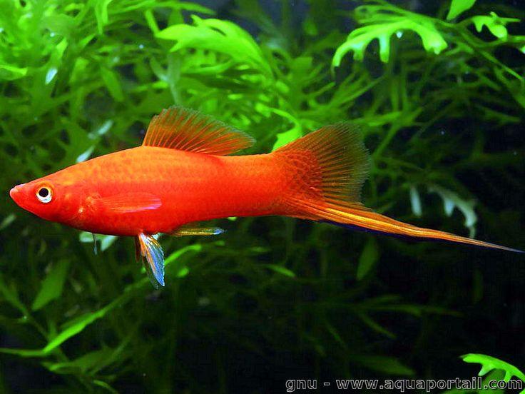 Xiphophorus hellerii xipho porte p e levage for Elevage poisson rouge