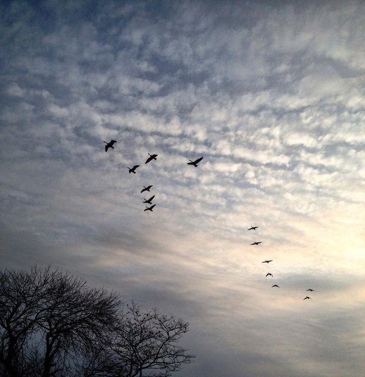 #InstagramELE #nubes  Los gansos volando a Florida quizá con las nubes detrás. #SP102S16 #SP212S16