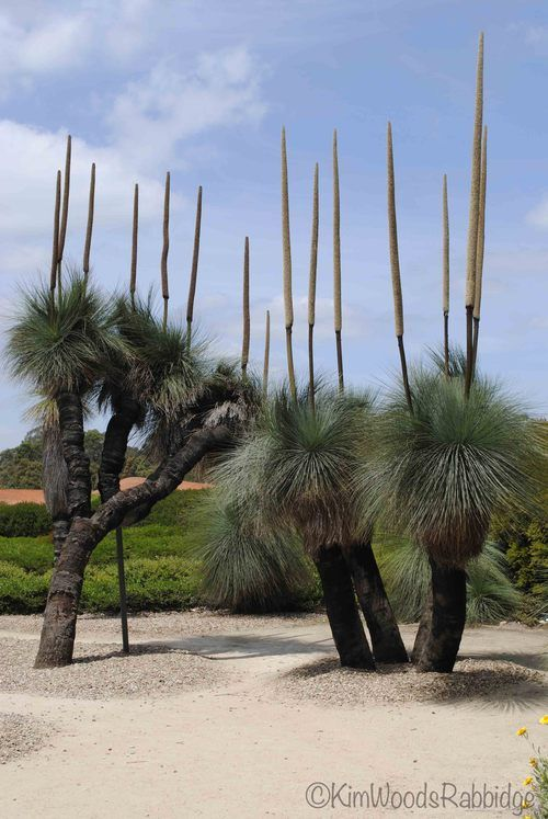Xanthorrhoea - Grass Tree