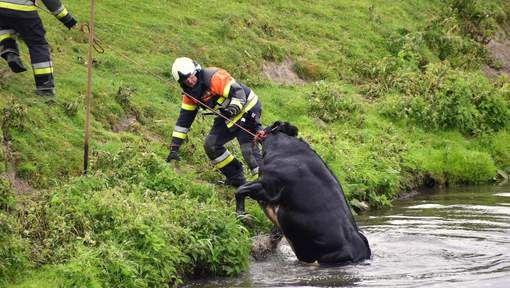 Het dier was ontstnapt uit de weiden een koppel dat voorbij kwam merkten het dier op.  mening: De brandweer deed dit zeer goed, het is goed dat ze niet alleen mensen redden maar ook dieren. Als het dier zou gestorven zijn in het water had het water vergiftigd kunnen worden en meer dieren kunnen sterven.