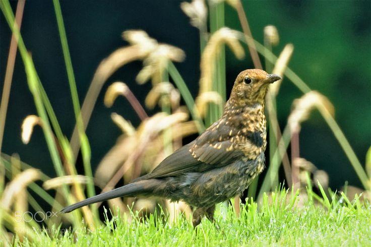 Female Blackbird (1) -  404A0127.jpg by jones627