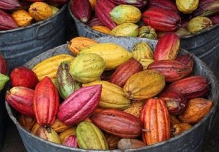 Beautiful multi-colored cacao beans.