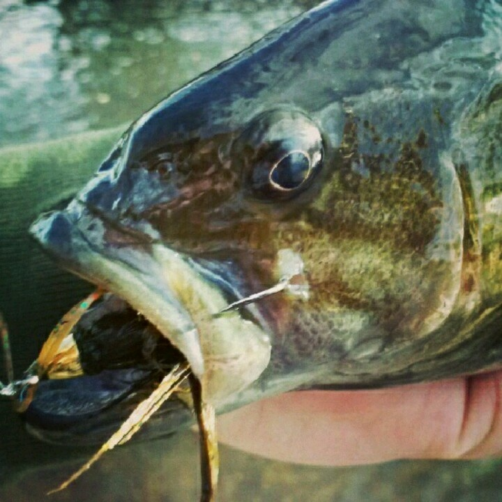 17 best images about smallmouth bass on pinterest canada for Smallmouth river fishing