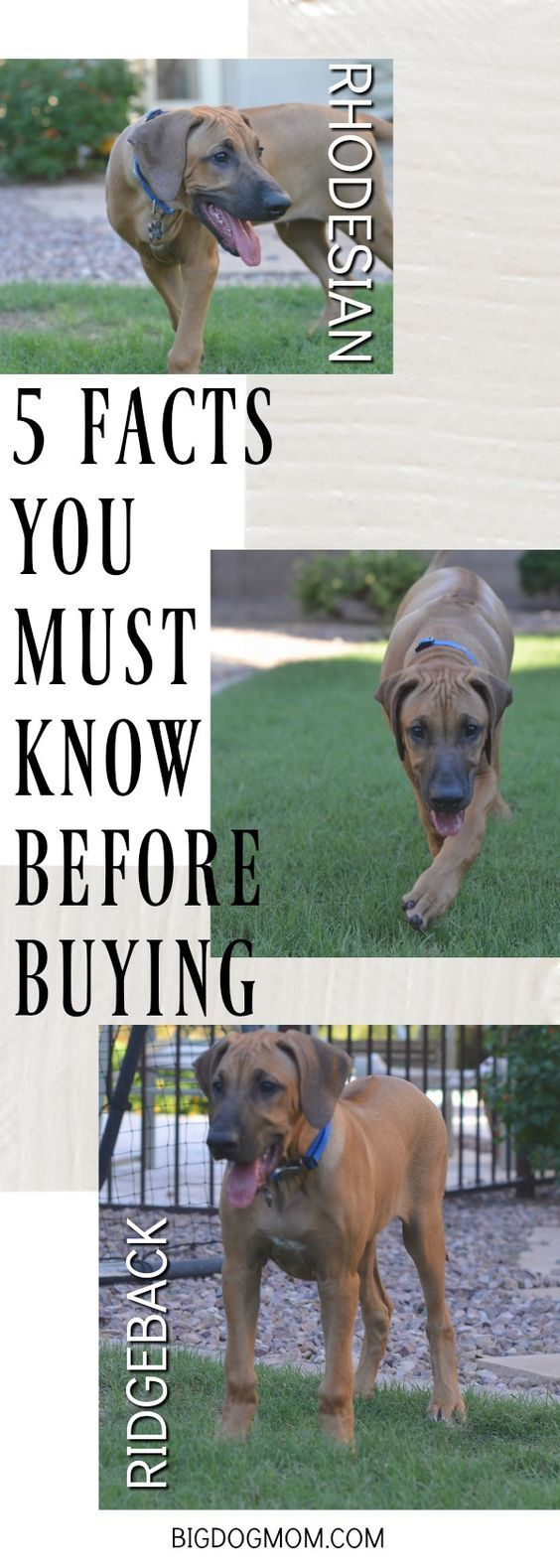 With his superior athleticism and intelligence, one weekend with a Rhodesian Ridgeback puppy taught me 5 facts that anyone considering the breed should know.