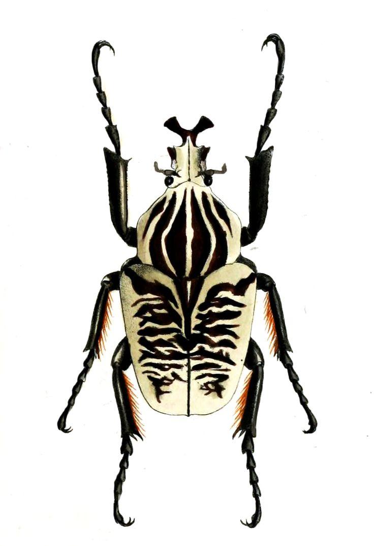 GoliathusAlbosignatusSmith.jpg (1078×1574)