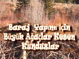 Baraj yapımı için büyük ağaçlar kesen kunduzlar Video