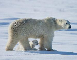 Life in the Arctic Tundra | Scholastic.com