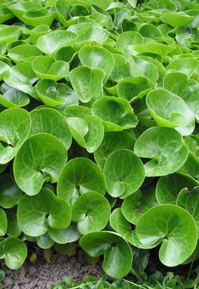 "Asarum europaeum ""wild ginger"" Ground cover. Shiny winter-green foliage."