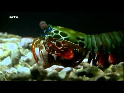 ▶ Fangschreckenkrebse - Die Scharfschützen der Meere 1/3 - YouTube
