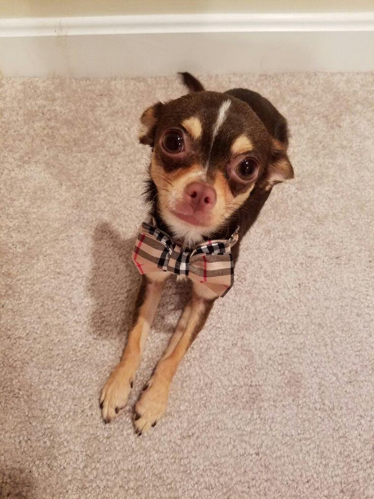 Chihuahua # Ragazzo Breve 4 Donne UPtWAn