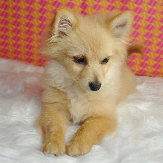Dixie Pomeranian Puppy 642976 Puppyspot In 2020 Pomeranian Puppy Puppies Pomeranian Puppy For Sale