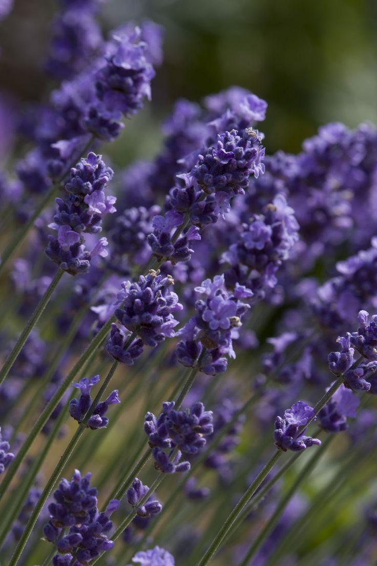 Scent: Norfolk grown Lavender angustifolia 'MELISSA LILAC'
