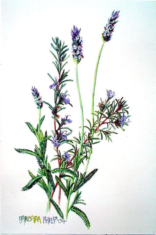 rosemary watercolour - Google pretraživanje