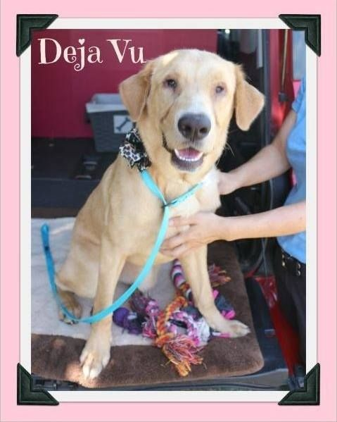 Cleburne Animal Shelter  Deja Vu is SCHEDULED TO BE EUTHANIZED 7/30/15 @ 4 PM due to SPACE. PLEASE CLICK ON HER PICTURE TO GO TO HER ORIGINAL THEAD TO SEE HER OTHER PICTURES  Deja Vu is a active girl that loves to play with toys
