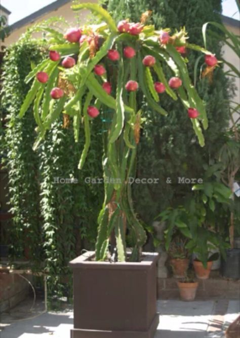 """Sweet red dragon fruit: HYLOCEREUS UNDATUS HYBRID """"VIETNAMESE"""". EPIPHYLLUM/ ORCHID CACTUS. This rare variety is self pollinating (only one plant needed). Unlike other dragon fruit plants, it will set fruit without being hand pollinated, very fertile, produces a lot of fruit up to 2 lbs. Its origin is Vietnam, the number one export of dragon fruit in the world. White flesh, bright pink skin. Great for cocktails, smoothies, jams, juice, garnish or eaten out of hand. Blooms all summer, huge…"""