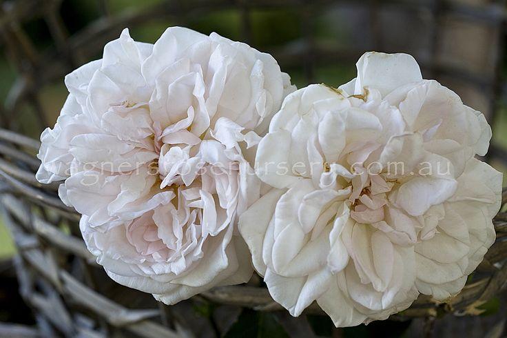 Cymbeline.  David Austin roses