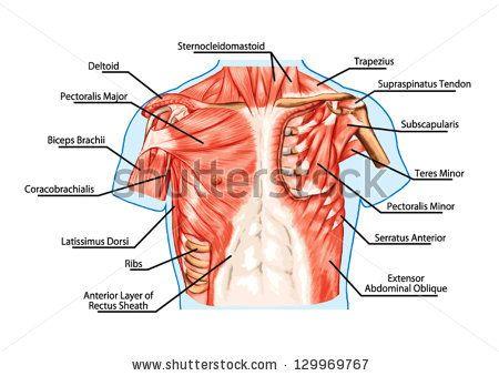 více než 25 nejlepších nápadů na pinterestu na téma human muscular, Muscles