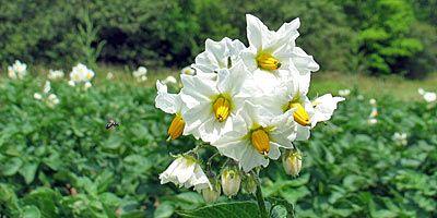 fleur de pomme de terre je vous remercie oh quelles belles fleurs pinterest fleur de. Black Bedroom Furniture Sets. Home Design Ideas
