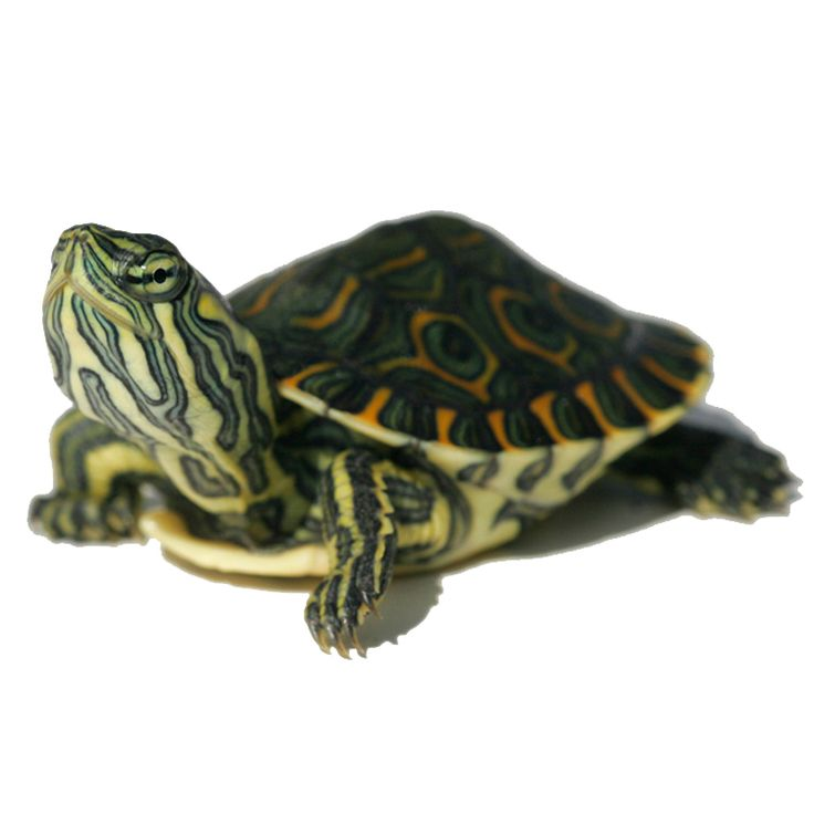 My Turtle Store | Baby Peacock Slider Turtles for sale