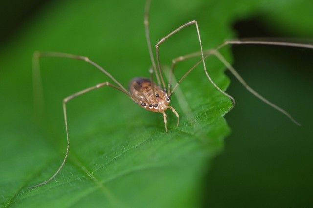 Myth: Daddy Long Legs are the most poisonous spider in the world.