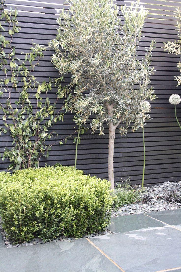 1000+ Ideas About Olivenbaum On Pinterest | Olivenbaum Pflege ... Terrasse Gestalten Olivenbaum