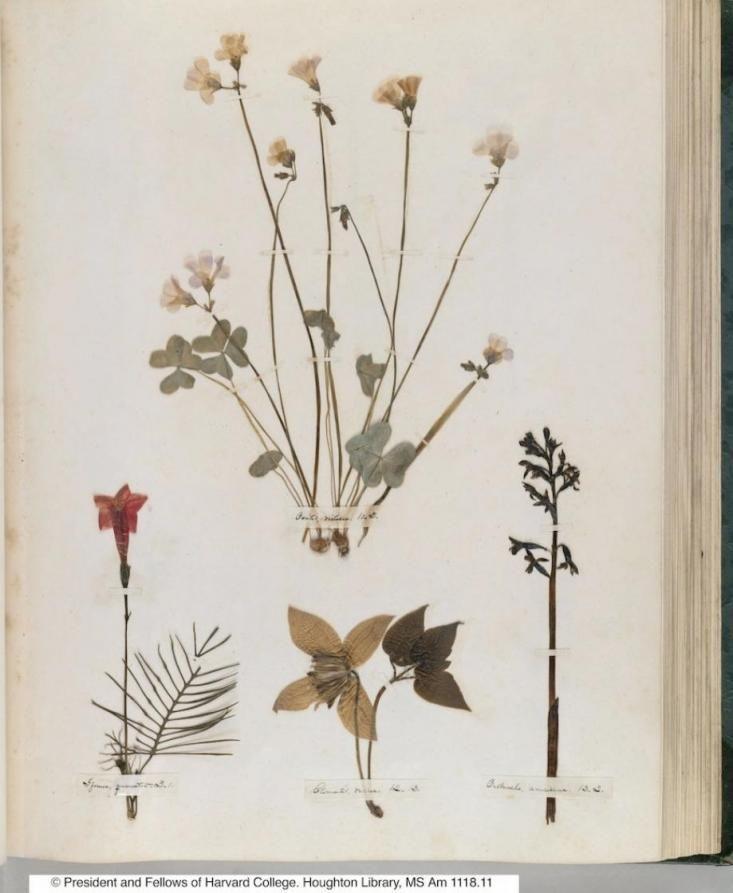 Emily Dickinson pressed flower botanicals in her herbarium via Gardenista