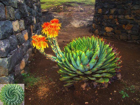 spirale africaine aloe aloe polyphylla succulentes On decoration jardin spirale