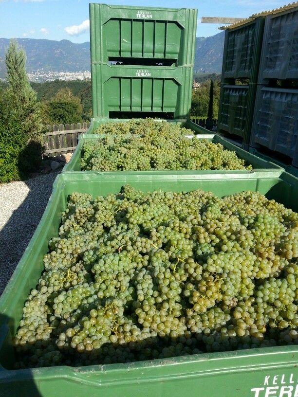 Sauvignon Weinlese 2013 Eppan