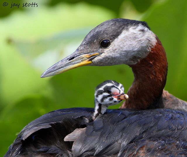 : Rednecks Grebe, Mothers Daughters, Grebe Chick, Lune Baby, Beautiful Birds, Baby Birds, Photos Shared, Red Neck Grebe, Feathers Friends