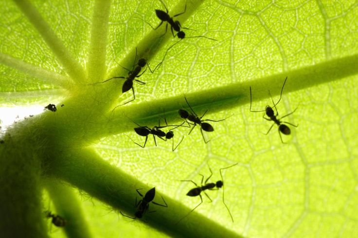 Battle of the Ants Which is the most notorious ant species on earth?