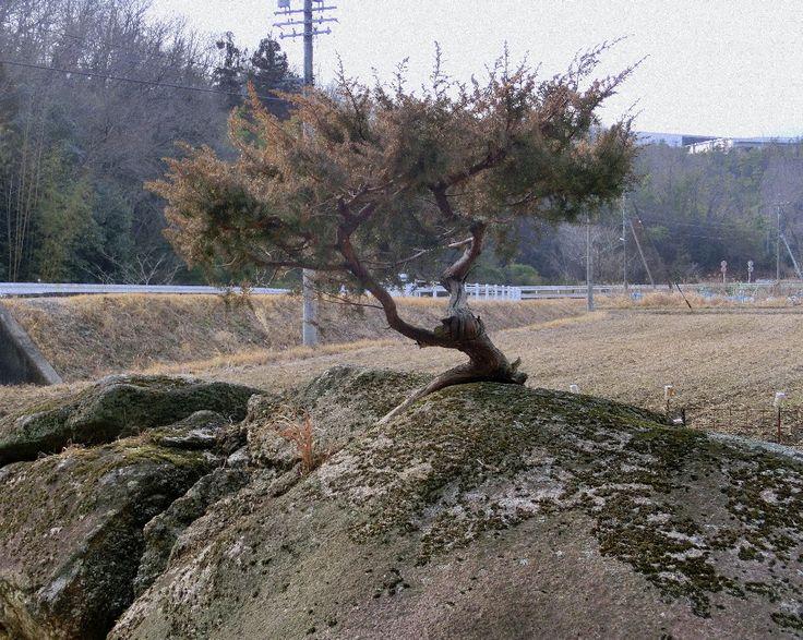 県道350号線沿いの「ど根性松」http://blogs.yahoo.co.jp/fujioka_kanko/GALLERY/show_image.html?id=10642901=0