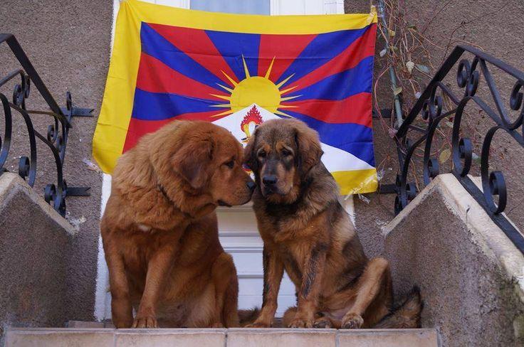 Voici mes deux dogues du tibet (do-khyi) pour le plaisir des yeux. merveilleuse journée. Here are my two Tibetan Mastiff (do-khyi) to delight the eye, wonderful day. by Philippe Gautier.