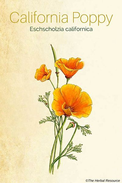 California Poppy - Side Effects and Benefits