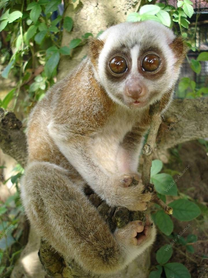 Meet The Slow Loris Wildlife Alliance Slow Loris Big Eyed Animals Loris