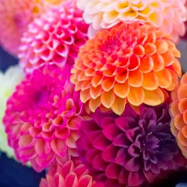 219 best Dahlias & Other Flowers images on Pinterest | Beautiful ...
