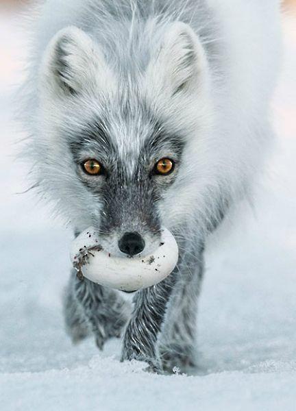 Arctic Fox by Sergey Gorshkov