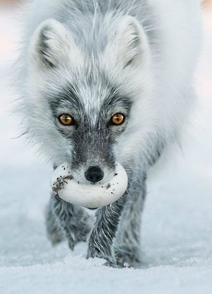 ~~The Artful Dodgers of Wrangel Island, arctic foxes steal as many as 40 snow goose eggs a day and cache them for their pups by Sergey Gorshkov~~