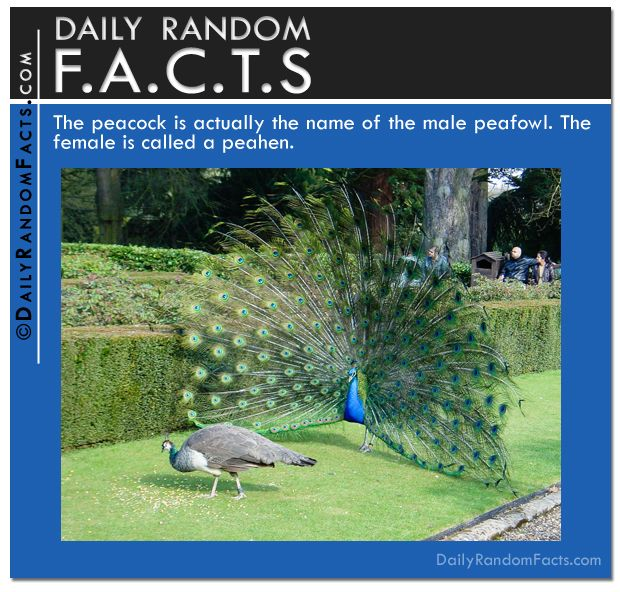 25+ best ideas about Facts about peacocks on Pinterest | Jk ...