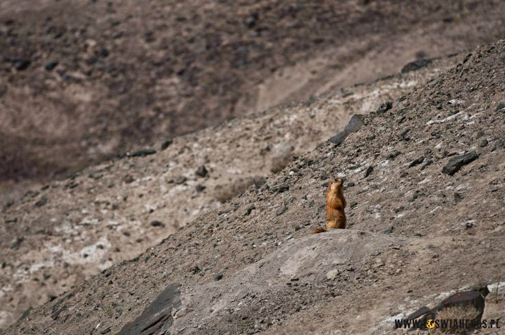 Marmot in Pamir Mountains near Karakul Lake, Tadjikistan.