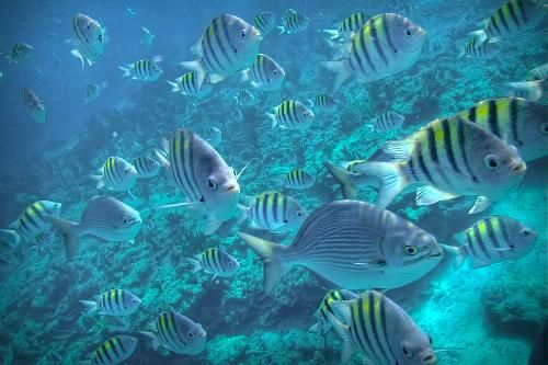 Snorkeling through a school of Seargent Major Fish off Grand Bahama Island.  My daughter & I did this the first time we went to Bahamas. The water clarity in these waters is AMAZING....