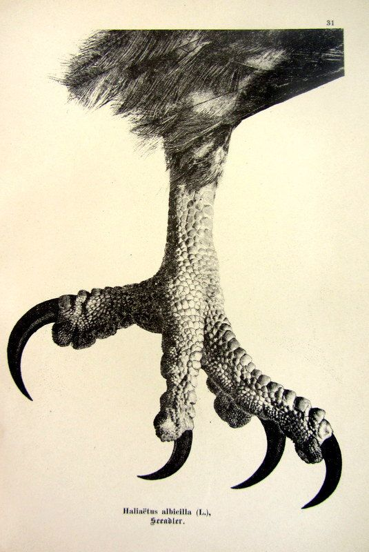Antique 1903 sharp claw of Whitetailed Eagle by LyraNebulaPrints, $19.50