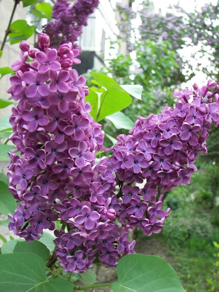 Syringa vulgaris - Orgona. Szinte érzem az illatát. Gyerekkoromat idézi.