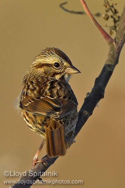 Benvolio: Song Sparrow