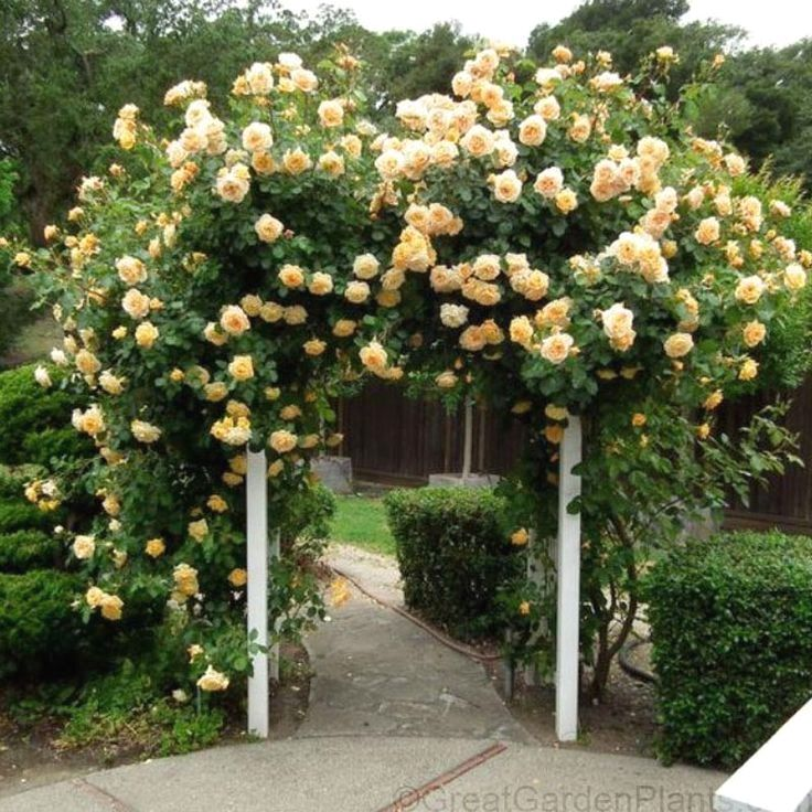 Rosegarden Examples Climbing Roses Garden Vines Rose Garden