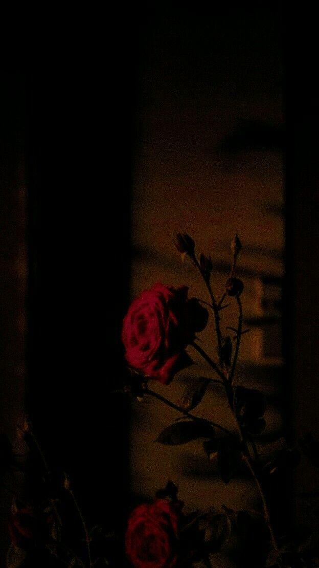 Rose Edit Gambar Mawar Foto Alam Latar Belakang Bunga Dark red rose aesthetic wallpaper