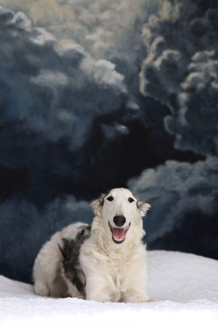 Borzoi puppy- GO GO BOSHOI CHA-CHA-CHA