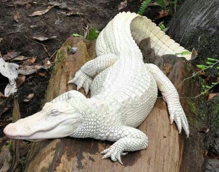 Albino alligator | Animals, Reptiles, Mammals,Pets, etc ...