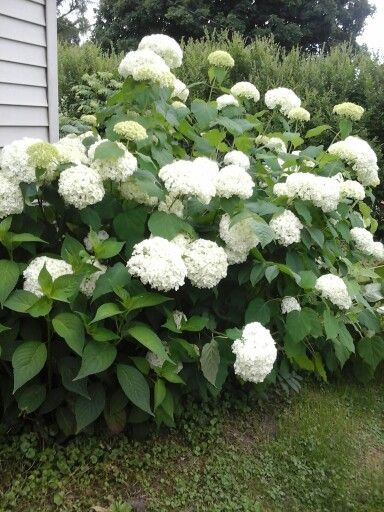 Snowball Hydrangea East Side Of The Garage Welcome To